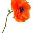 Single poppy isolated on white background. — Stock Photo