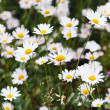 Green flowering meadow with white daisies. — Foto de Stock