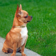 Chihuahua dog sitting on a background of green grass and looks i — Stock Photo