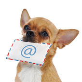 Red chihuahua dog with post envelope and icon e-male isolated on — Stock Photo