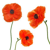 Set of single poppy flowers isolated on white background. — Stock Photo
