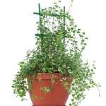 "Ficus pumila ""White Sunny"" isolated on white background. — Stock Photo"