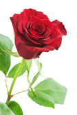 Red rose isolated on white background. — Stock Photo