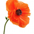 Stock Photo: Single poppy isolated on white background.