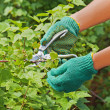 Hands with pruner in the garden. — Stock Photo