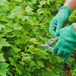 Hands with green garden pruner in garden.  — Stock Photo #41609195