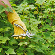 Hand with green pruner in garden. — Stock Photo #41609359