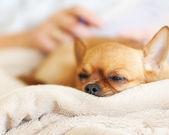 ベージュ色の背景に赤のチワワ犬の睡眠. — ストック写真