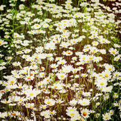 Green flowering meadow with white daisies, — Stock Photo
