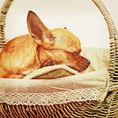 レトロなフィルター ef と枝編み細工品バスケットで赤いチワワ犬の睡眠 — ストック写真