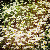 Green flowering meadow with white daisies. — Stock Photo