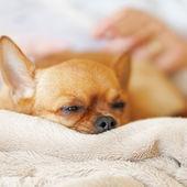 Slapen rode chihuahua hond op beige achtergrond. — Stockfoto