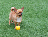 Red chihuahua dog on green grass. — Stock Photo