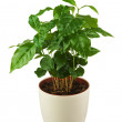 Coffee tree (Arabica Plant) in flower pot isolated on white back — Stock Photo #48079601