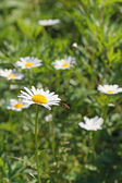 Green flowering meadow with white daisies and honey bee. — Stock fotografie