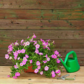 Pink petunia flowers in flowerpot with garden accessories. — 图库照片