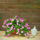 Pink petunia flowers in flowerpot on wooden background. — 图库照片
