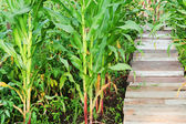 Growing up corn stalks and wooden path in garden. — Zdjęcie stockowe