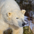 Polar Bear — Stock Photo #19382403