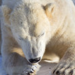Polar Bear — Stock Photo #19382633