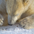Polar Bear — Stock Photo #19382839