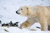 Polar Bear walking in snow — Stock Photo