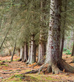 Pine trees — Stockfoto
