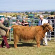 Judging livestock in competition — Stock Photo #30579197