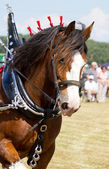 Galloping Clydesdale horse — Stock Photo