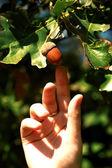 Acorn, oak — Stock Photo