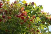Tranbär gren — Stockfoto