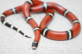 Eastern Milk snake is resting on the floor — Stock Photo