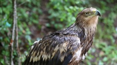 Young eagle wet after rain — Stock Video