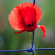 Poppy Trapped — Stock Photo