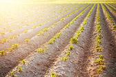 Ilk güneş ışınları üzerinde genç patates — Stok fotoğraf
