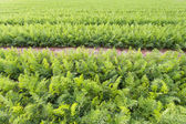 Field of young carrots — Stock Photo