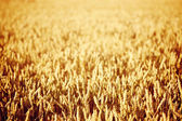 Golden Wheat Field at Sunset — Stock Photo