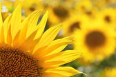 Sunflower petals detal — Stockfoto