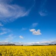 Field of Rapeseed Oil on a sunny day — Stock Photo #37763035