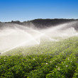 Irrigation in Field of growing potatoes — Stock Photo #42544355