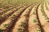 Rows of youngs potatoes — Stock Photo