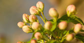 Close up of a Apple Blossom — Stock Photo