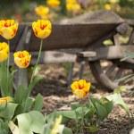 Yellow Tulips and Wheelbarrow  — Stock Photo #25043303