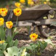 Yellow Tulips and Wheelbarrow — Stock Photo #25043303