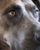 The Eyes of a Pit Bull — Stock Photo