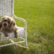 Good looking dog on a white wicker chair — Stok fotoğraf