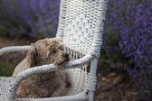 Goldene hund auf wicker stuhl und lila lavendel — Stockfoto