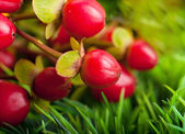 Bouquet of red berries — Stock Photo