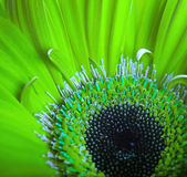 Green flowers, bouquet of gerber — Stock Photo
