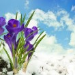 Snowdrops and crocuses on snow in a sunny day — Stok fotoğraf
